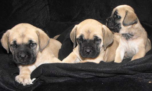 Available Pups 187 Thunderheart Mastiffs