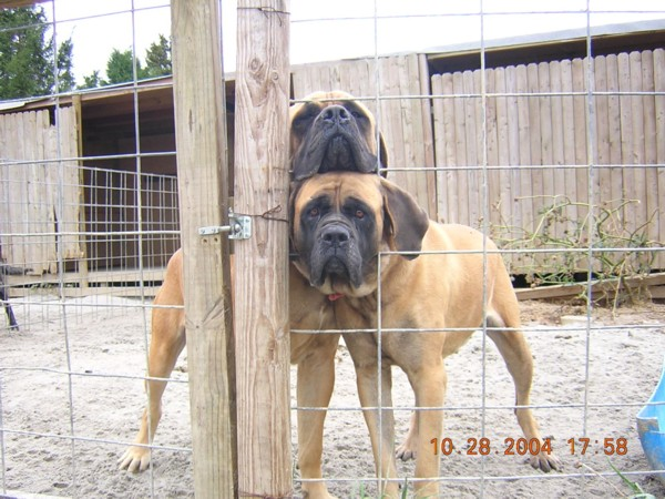 giant maso mastiff - photo #41