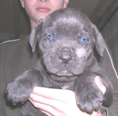 Available Pups » Thunderheart Mastiffs